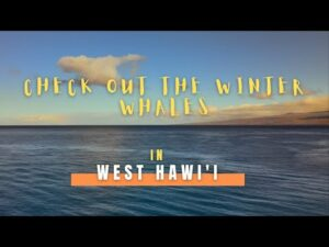 Check out the winter whales in West Hawai'i